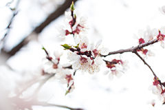 Flores del albaricoquero Foto de archivo libre de regalías