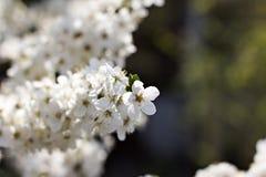 Flores del albaricoquero Fotografía de archivo