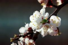 Flores del albaricoquero Flores blancas de la primavera en una rama de árbol abril Foto de archivo libre de regalías