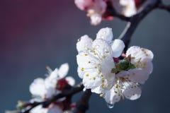 Flores del albaricoquero Flores blancas de la primavera en una rama de árbol abril Imágenes de archivo libres de regalías