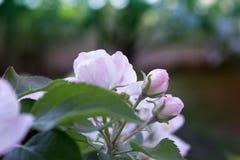 Flores del albaricoquero Flores blancas de la primavera en una rama de árbol abril Foto de archivo