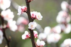 Flores del albaricoquero que florecen en primavera imagen de archivo libre de regalías