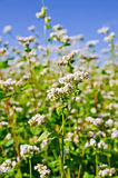 Flores del alforfón con el cielo azul Fotos de archivo