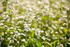 Flores del alforfón en campo en verano Fotografía de archivo libre de regalías