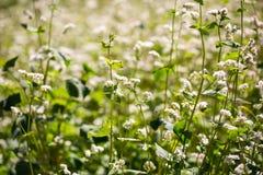 Flores del alforfón en campo en verano Foto de archivo libre de regalías