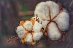 Flores del algodón fotos de archivo libres de regalías