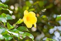 Flores del Allamanda Foto de archivo libre de regalías