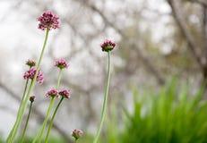 Flores del allium Fotos de archivo libres de regalías