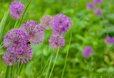 Flores del allium Imagen de archivo libre de regalías