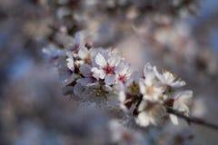 Flores del Almendro Royaltyfri Foto