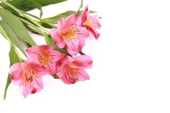 Flores del Alstroemeria Imagen de archivo
