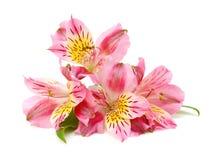 Flores del Alstroemeria Imagenes de archivo