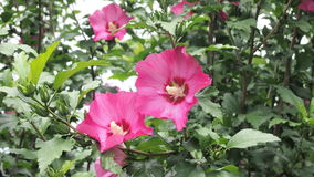 Flores del Althea, imagen de fondo Fotos de archivo