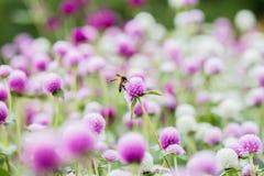 Flores del amaranto Imágenes de archivo libres de regalías