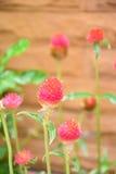 Flores del amaranto de globo imagen de archivo