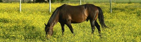 Flores del amarillo del caballo de Brown fotos de archivo libres de regalías