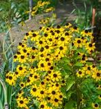 Flores del amarillo del triloba del Rudbeckia (Susan browneyed, Susan de ojos marrones, coneflower fino-con hojas, coneflower tri Fotografía de archivo libre de regalías