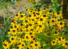 Flores del amarillo del triloba del Rudbeckia (Susan browneyed, Susan de ojos marrones, coneflower fino-con hojas, coneflower tri Imagen de archivo