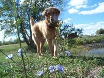 Flores del amoungst del perro perdiguero de oro fotografía de archivo libre de regalías
