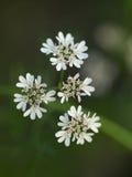 Flores del anís Fotografía de archivo libre de regalías