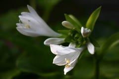 Flores del anfitrión Foto de archivo libre de regalías