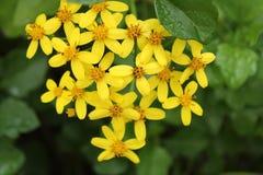 Flores del angulatus del Senecio en el jardín fotografía de archivo libre de regalías