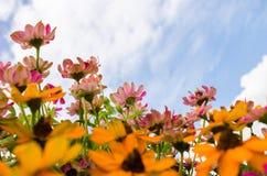 Flores del angustifolia del Zinnia Imagen de archivo