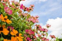 Flores del angustifolia del Zinnia Fotografía de archivo