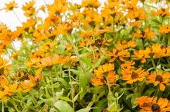 Flores del angustifolia del Zinnia Imagen de archivo libre de regalías