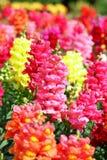 Flores del Antirrhinum Fotografía de archivo