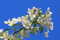 flores del Apple-árbol Fotos de archivo