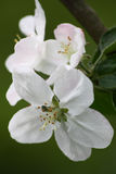 flores del Apple-árbol en un fondo verde Foto de archivo libre de regalías