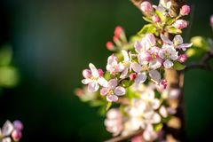 flores del Apple-árbol teniendo en cuenta la puesta del sol Floración enorme de la primavera en el jardín siberiano foto de archivo