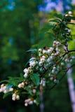 Flores del arándano en primavera con la abeja Foto de archivo libre de regalías