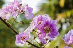 Flores del arbol de Jupiter de la reina Foto de archivo libre de regalías