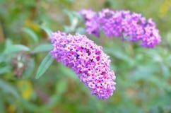 Flores del arbusto de mariposa Imágenes de archivo libres de regalías