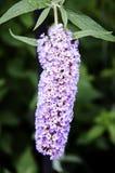 Flores del arbusto de mariposa Fotos de archivo