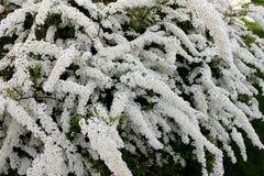 Flores del arbusto del Spiraea Fotografía de archivo