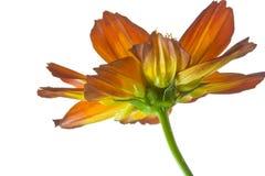Flores del aster Imágenes de archivo libres de regalías
