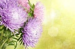 Flores del aster Foto de archivo libre de regalías