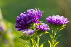 Flores del aster Imagen de archivo libre de regalías