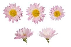 Flores del aster Fotografía de archivo libre de regalías