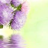 Flores del aster Fotos de archivo