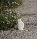 Flores del aster de Albino Uintah Ground Squirrel Eating imágenes de archivo libres de regalías