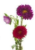 Flores del aster del árbol Fotos de archivo libres de regalías