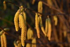 Flores del avellano con polen como comida para las abejas Fotos de archivo
