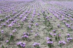 Flores del azafrán Fotos de archivo libres de regalías