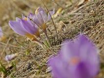 Flores del azafrán Foto de archivo libre de regalías
