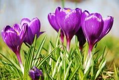 Flores del azafrán Fotografía de archivo libre de regalías