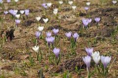 Flores del azafrán de la montaña en las montañas austríacas Imagenes de archivo